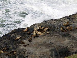 Sea Lions on the coast of Oregon